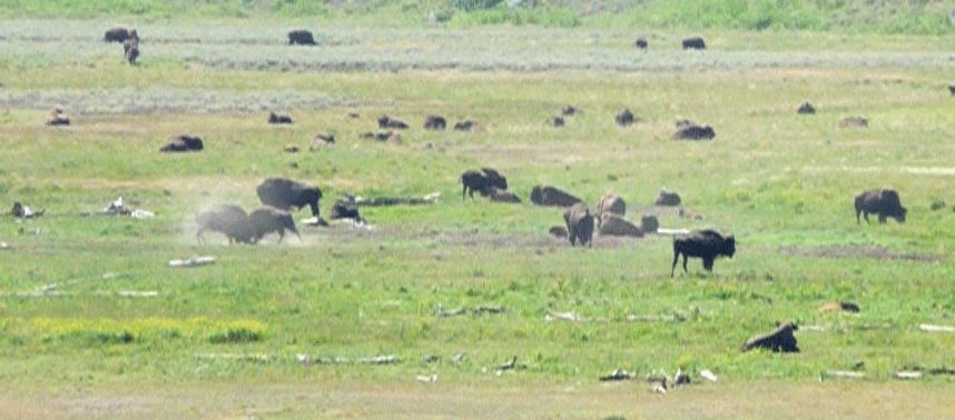 Bison butting heads in the Lamar Valley Yellowstone