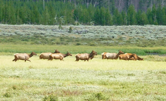 Elk south of Mammoth Hots Springs Yellowstone