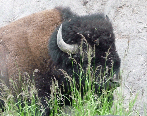 Bison sitting next to road Yellowstone