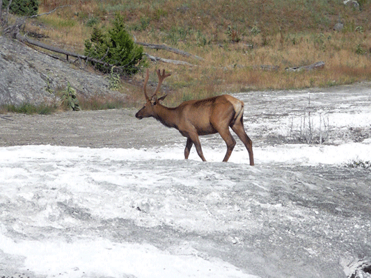 Bull Elk at Mammoth Hot Springs