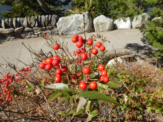 red berries Jenny Lake