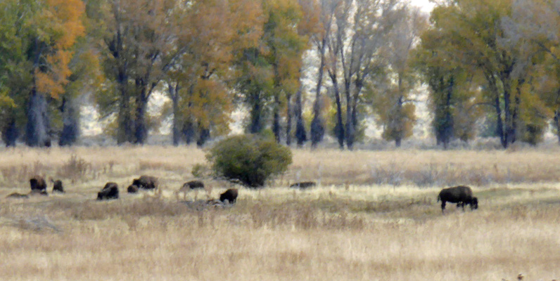 Grand Teton Bison herd