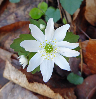 Rue Anemone (Thalictrum thalictroides).