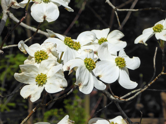 Dogwood Great Smoky Mts NP