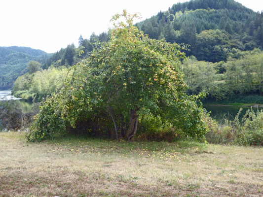 Apple tree along Umpqua River OR