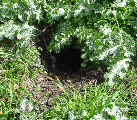 Critter hole in weed mound