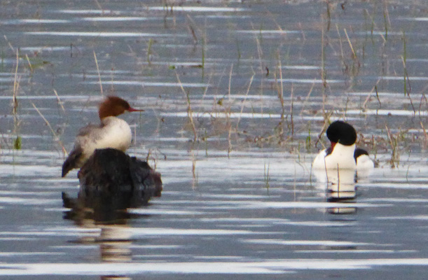 Male and female Common Mergansers
