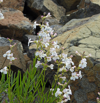 Hot-rock Penstemon (Penstemon deustus)