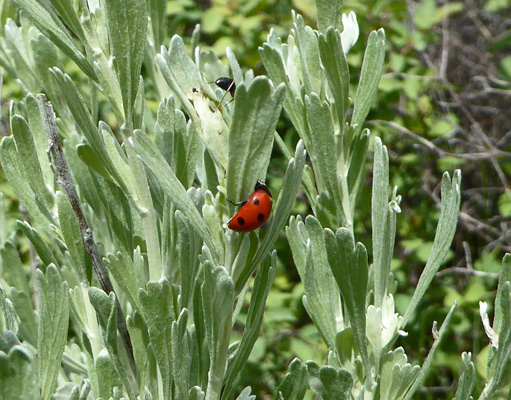 Ladybug on sage Lake Cascade