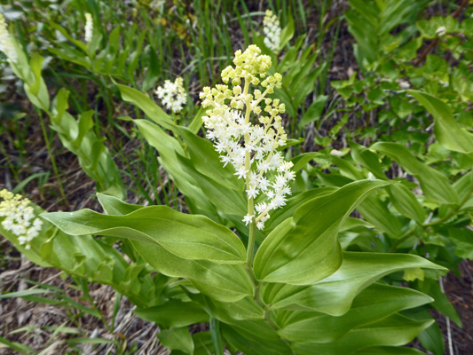 False Solomon's Seal (Maianthenmum racemosum)