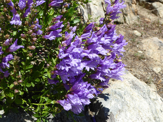 Shrubby Penstemon (Penstemon fruticosus)