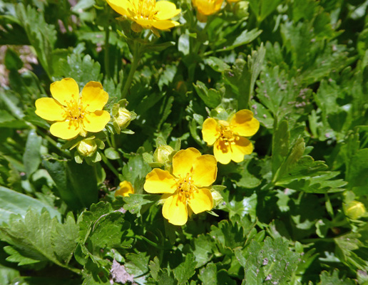 Mountain Meadow Cinquefoil (Potentilla diversifolia)