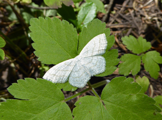 White moth or butterfly