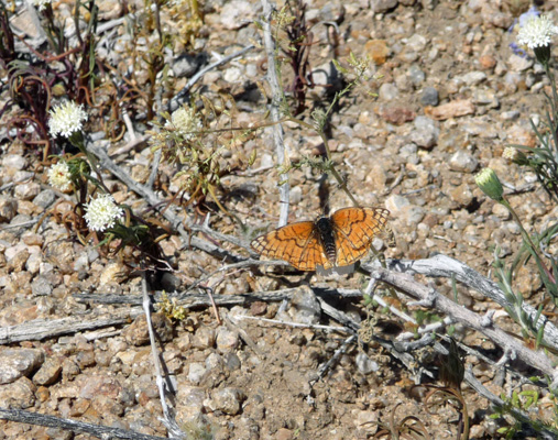 Butterfly Alabama Hills CA