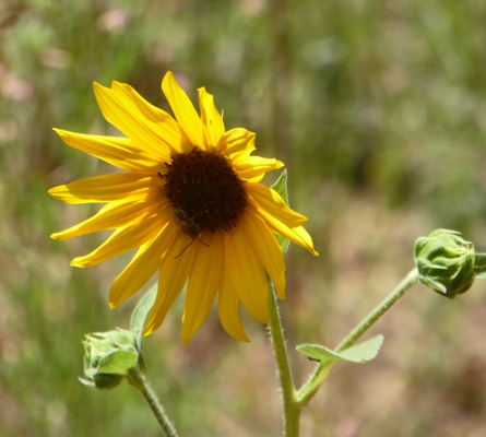 Prairie Sunflowers (Helianthus petiolaris)