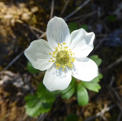 Smallflowered Anemone (Anemone parviflora)