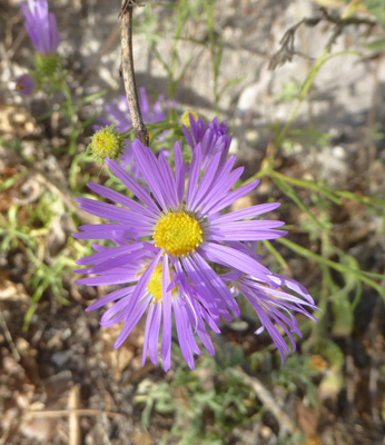Fall Tansyaster (Dieteria asteroides)