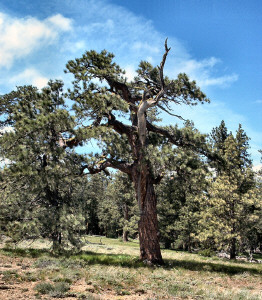 Ponderosa Pines and their meadow