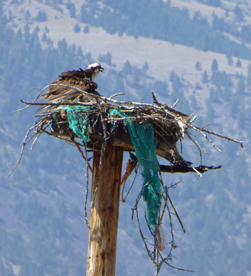 Young osprey in nest