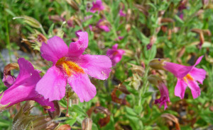 Mimulus lewisii (Great Purple Monkeyflower) at Picture Lake Mt. Baker WA