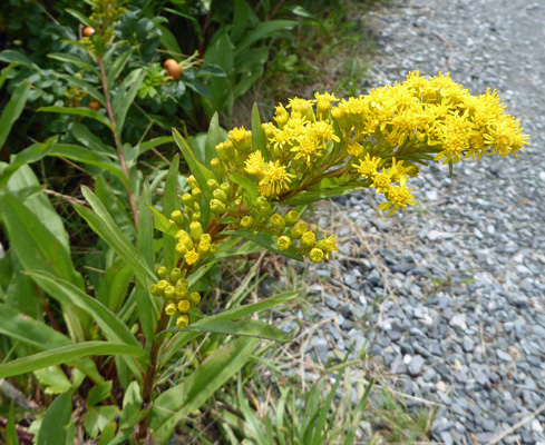Seaside Goldenrod (Solidago semipervirens)