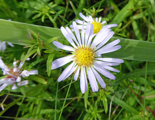 New York Asters (Symphyotrichum novi-belgii)
