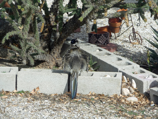 Roadrunner fluffing feathers