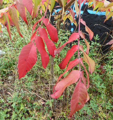 red leaved staghorn sumac