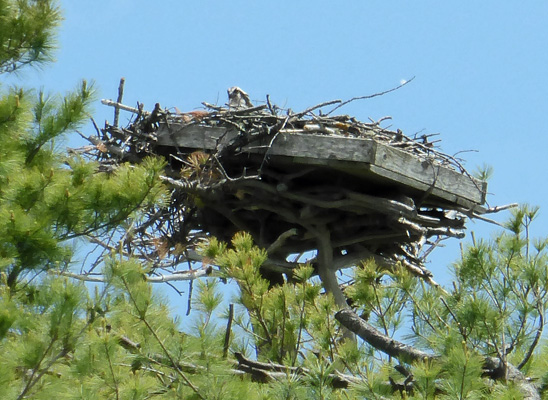 Osprey in nest Goggins Island ME