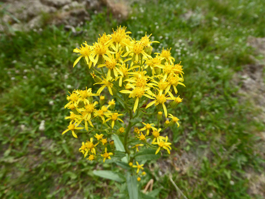 Butterweed Groundsel (Senecia serra)