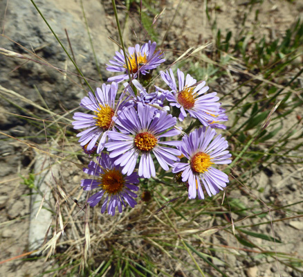 Three-nerved daisy (Erigeron subtrinervis)