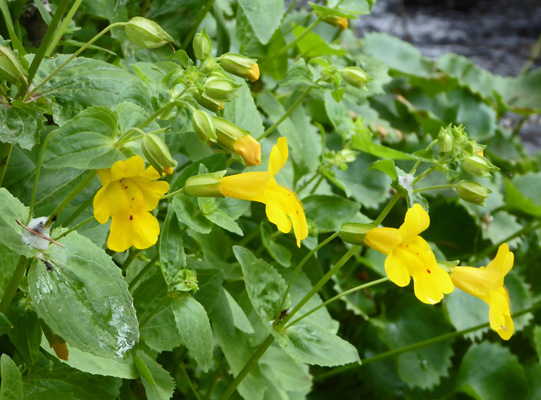 Seep Monkeyflower (Mimulus guttatus)