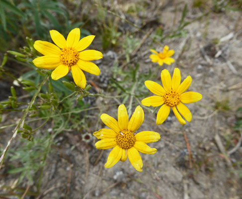 Gold Stars (Crocidium multicaule)
