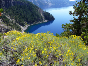 Rabbit bush in flower at Crater Lake