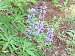 Lupine in September