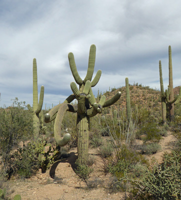 Saguaro with many arms
