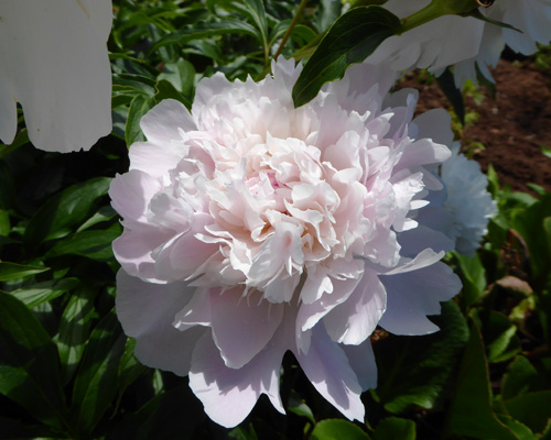 Peony at Green Gables House