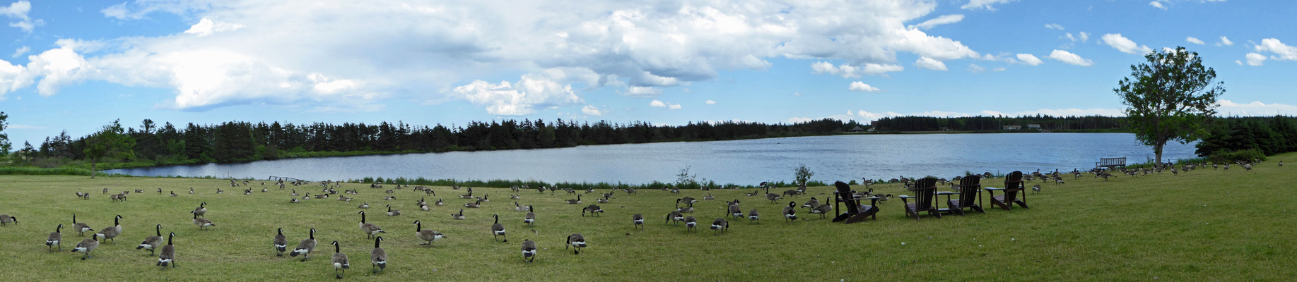 Canada Geese Dalvay-by-the-Sea