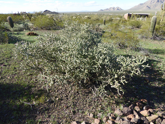 Arizona Pencil Cholla