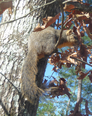 Squirrel Livingston SP
