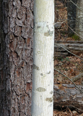 White bark of unknown tree