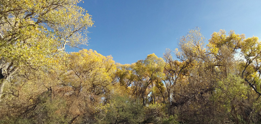 yellow leaved cottonwoods