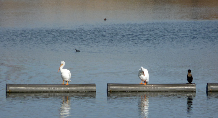 Pelicans and cormorant Lake Poway