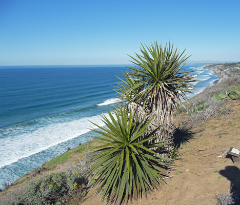 Yuccas at Torrey Pines State Park