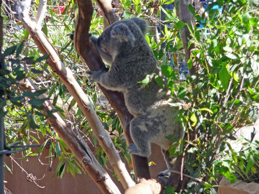 Koala on the move San Diego Zoo