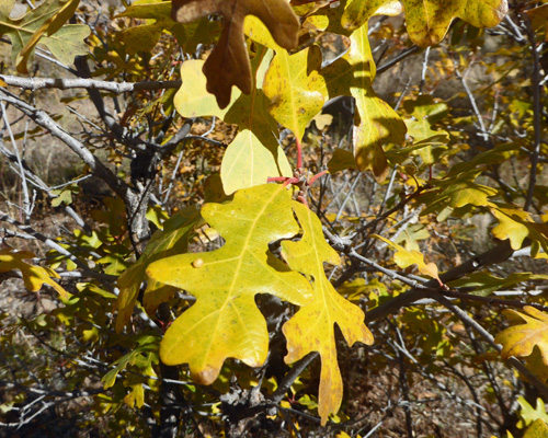 Yellow Gambel Oak leaves