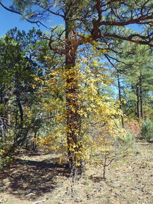 Gambel oak fall color