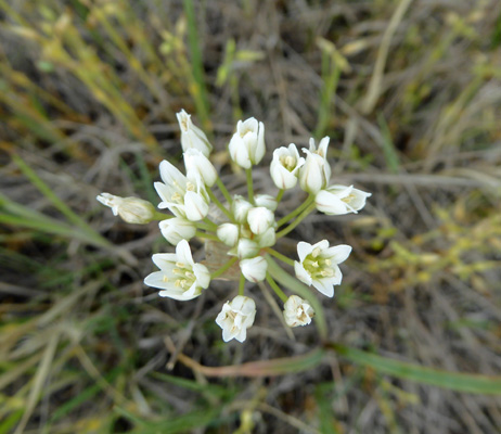 Prairie Onion (Allium textile)