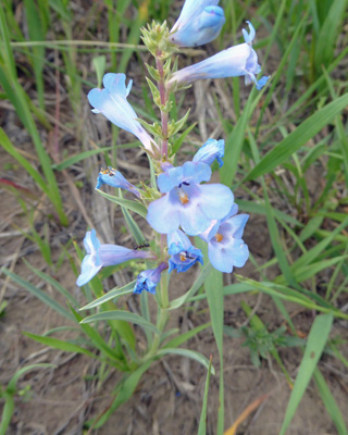 Broadbeard Beardtongue (Penstemon angustifolius)