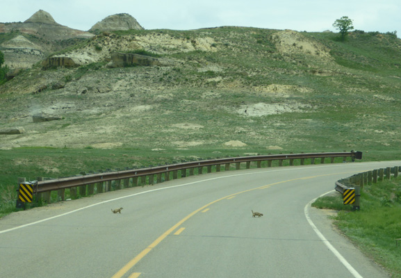 Prairie dogs on road